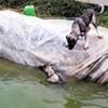 28.03.2020 / Havuza Düşen Köpeği, Kardeşinin Kurtarma Çabası Kamerada