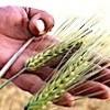 24.07.2021 / Kuraklığa Dayanıklı Arpa Sağladığı Verimle Çiftçiyi Sevindirdi